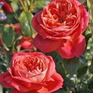 Роза Декоплант Queen of Hearts (Куин оф Хертс), 70-90 см