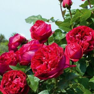 Роза Декоплант Red Eden Rose (Ред Эден Роуз) 160-180 см