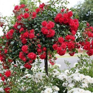 Роза в контейнере Red Meilove (Ред Мейлав), штамбовая 80-90 см