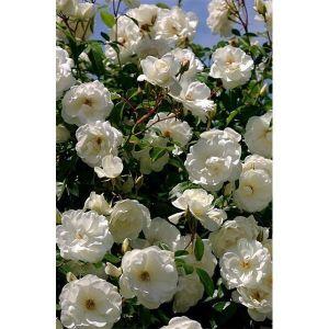 Роза Family White (Фемили Вайт)
