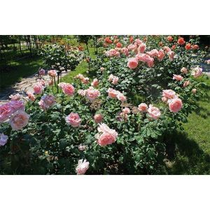 Роза Solo Pink (Соло Пинк)
