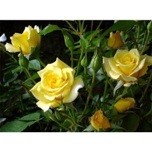 Роза Solo Yellow (Соло Еллоу)