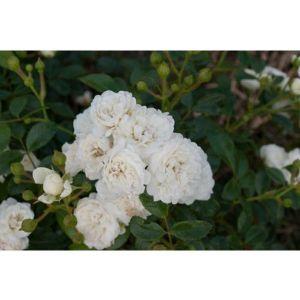 Роза White Fairy (Уайт Фейри) штамбовая