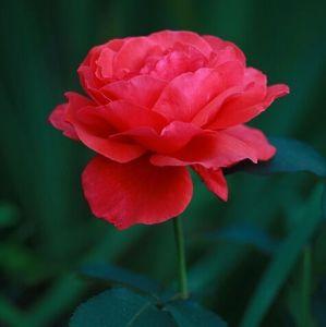 Роза Duftwolke (Дуфтвольке) 60-80 см