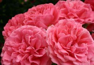 Роза Декоплант Rosarium Uetersen (Розариум Утерзейн), 180-200 см