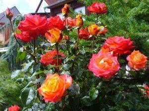 Роза Mein Munchen (Майн Мюнхен), штамбовая