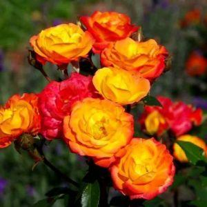 Роза в контейнере Rumba (Румба), штамбовая 70-80 см