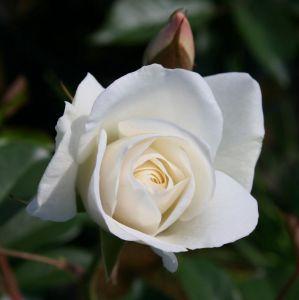 Роза Schneewittchen (Шневитчен)