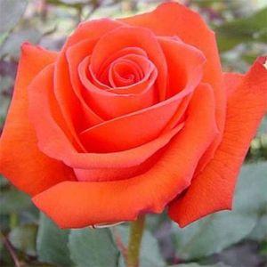 Роза Solo Orange (Соло Оранж)