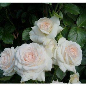 Роза Swan Lake (Свон Лейк)