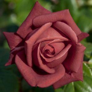 Роза Terracotta (Терракота)