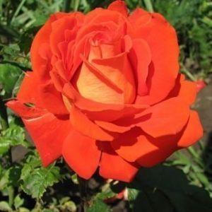 Роза Verano (Верано)