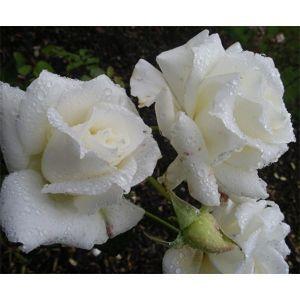 Роза White Queen Elizabeth (Вайт Куин Элизабет)