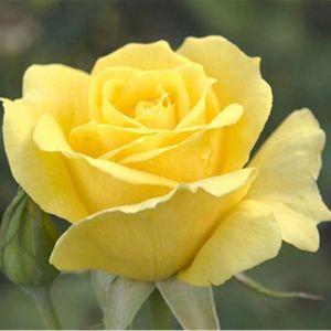 Роза Yellow Queen Elisabeth (Еллоу Куин Элизабет)