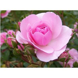 Удобрение для роз Агроном Профи