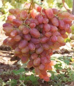 Виноград Анжелика, ранний