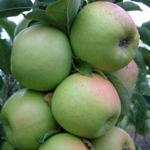 Яблоня колоновидная Эдем