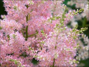 Астильба Розовая