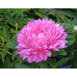 Астра карликовая розовая