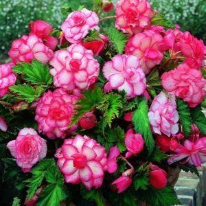 Бегония Бутон де Роуз (Bouton de Rose)