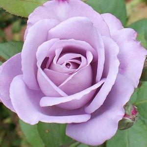 Роза Blue Moon (Блю Мун)