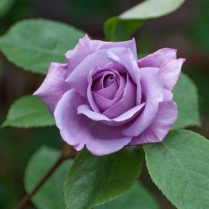 Роза плетистая голубая луна, анальные порно кастинги онлайн