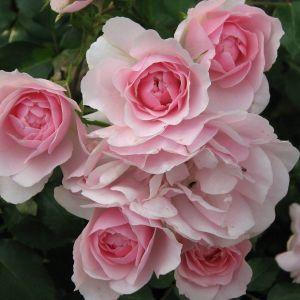 Роза Bonica (Боника)