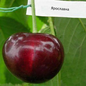 Черешня Ярославна