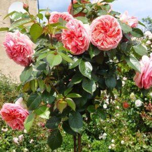 Роза Chippendale (Чиппендейл) штамбовая