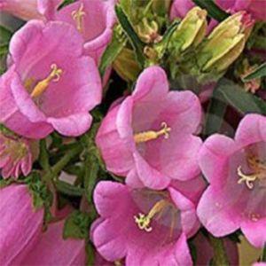 Дельфиниум Сидней розовый