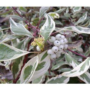 Дерен белый Sibirika (Сибирика)