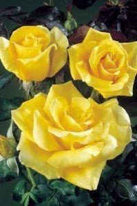 Роза Parfume de Envy (Парфум Зависть)