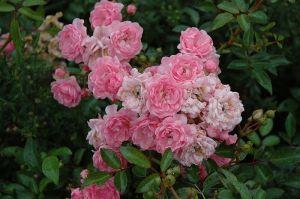 Роза The Fairy (Зе Фейри)