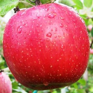 Яблоня Фуджи осенняя