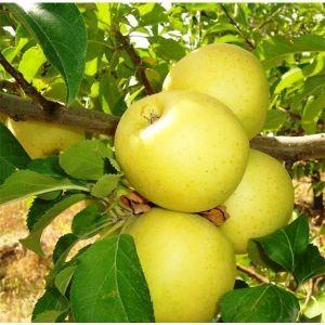 Яблоня Голден Гибсон Смути 2-х летняя