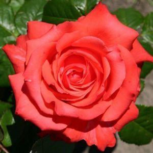 Роза Holstein Perle (Гольштейн Перле)