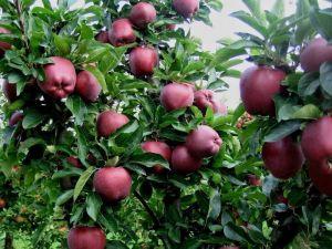 Яблоня Супер Чиф, зимняя