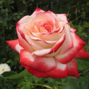 Роза Imperatrice Farah (Императрис Фарах)