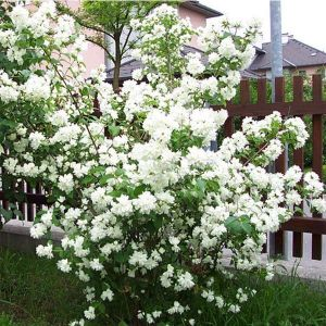 Цветы жасмина купить екатеринбург