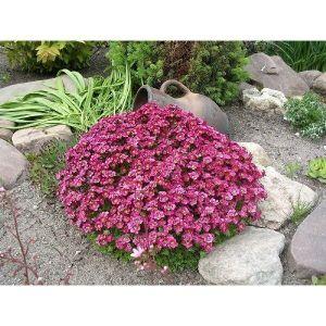 Камнеломка пурпурный ковер