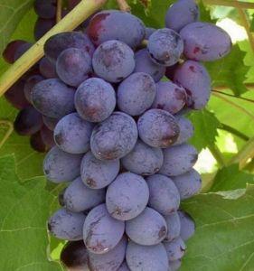 Виноград кишмишный Юпитер ранний