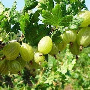 Крыжовник Малахит зеленый на штамбе 80-90 см