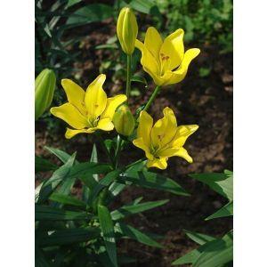 Лилия Yellow Cocotte (Йеллоу Кокот)