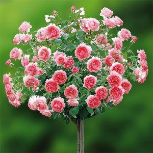 Роза Melrose (Мелроуз), штамбовая