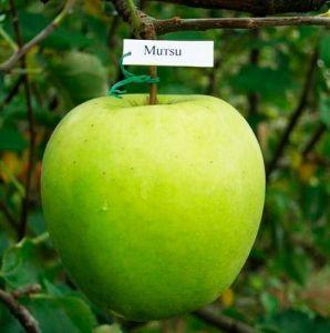Яблоня в контейнере Мутсу, 150-210 см
