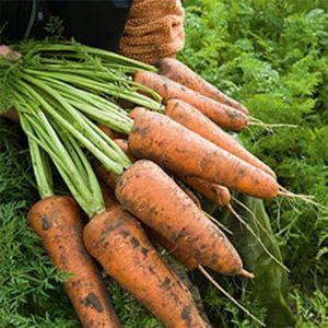 Морковь Курода Шантане ранняя