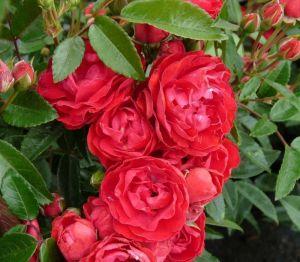 Роза Morsdag Red (Морсдаг Ред)