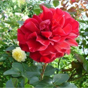 Роза Mushimara (Мушимара)