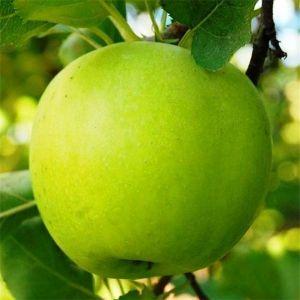 Яблоня Мутсу осенне-зимняя