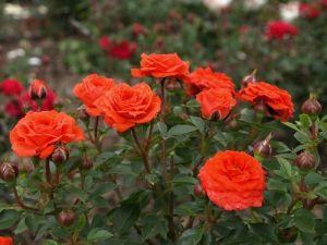Роза Декоплант Orange Juwel (Оранж Ювиль) 30-50 см
